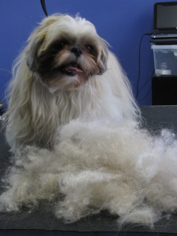 Shih Tzu DeShedding Treatment